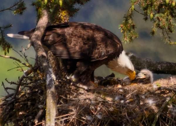 Mom feeding eaglet 3