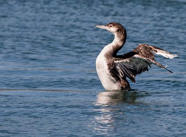 Pacific Loon Drying His WingsOr... (1 of 1)