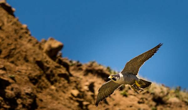 Peregrine Falcon Flying with Dinner
