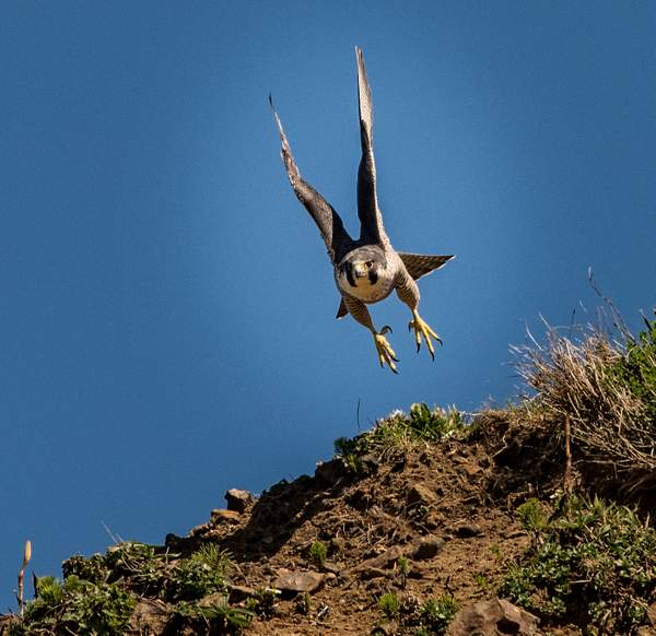 Peregrine Falcon Flying with Talons Ready