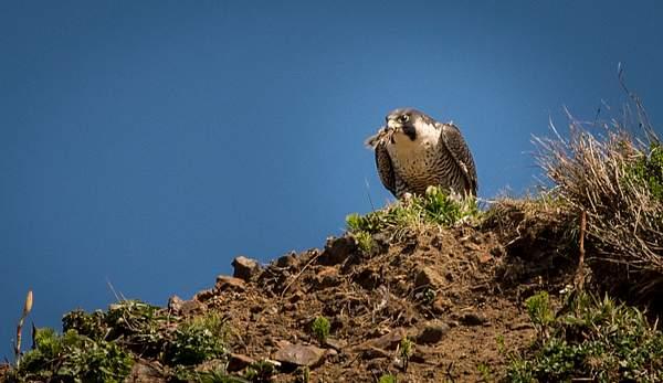 Peregrine Falcon with a Beak Full)