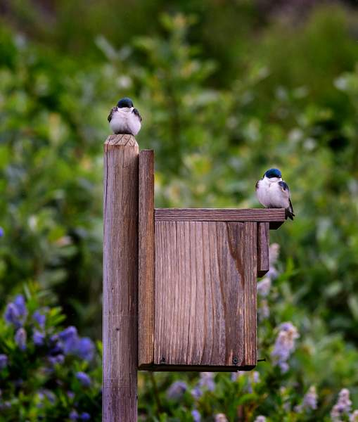 Swallows Setting Up Their Home with a View)
