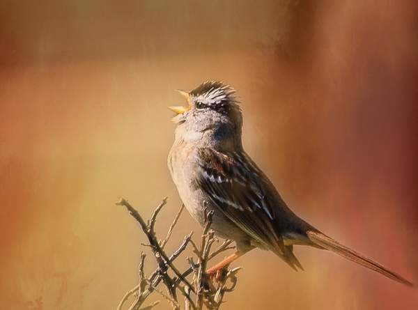 White Crowned Sparrow for Textures of 1)
