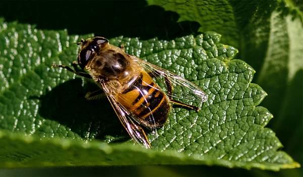 Bee On Rose Leaf