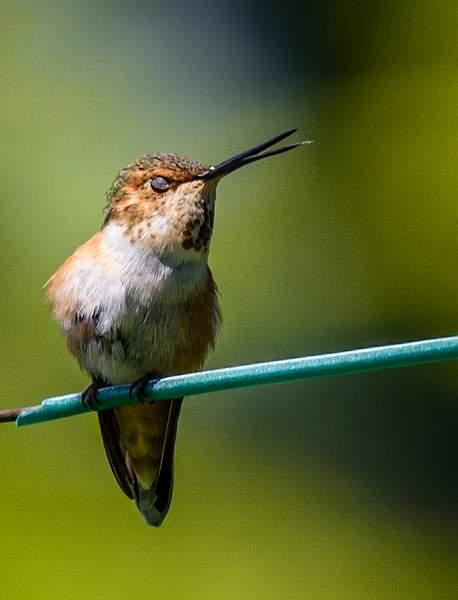 Flirtatious Hummingbird