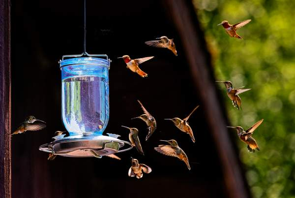 How Many Hummers Can a Feeder Feed  of 1)