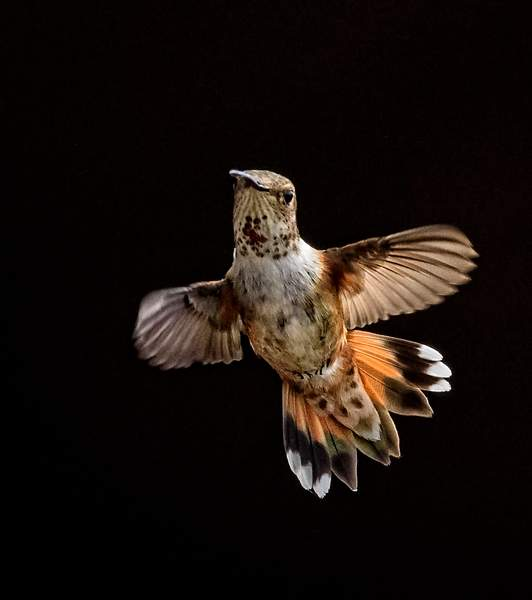 Hummer Spread Tail Feathers