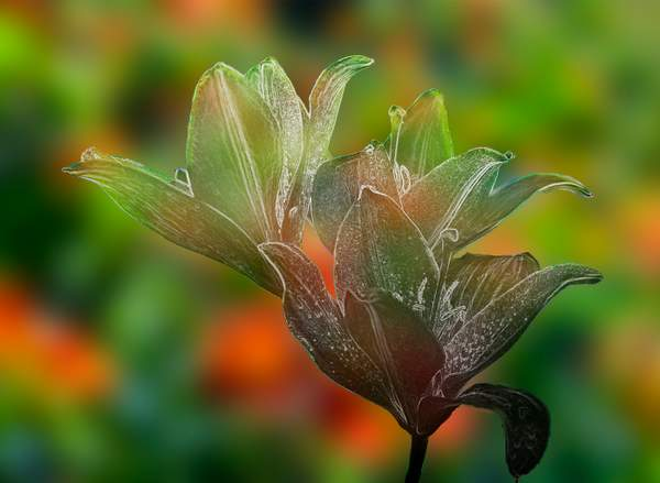 Lily for Glass with Nasturtium Bokeh