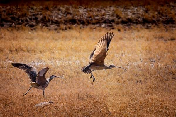 Long Billed Curlews for Texture