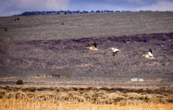 Three White Pelicans Flying
