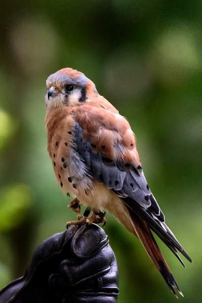 American Kestrel A Little Nervous with the Attention
