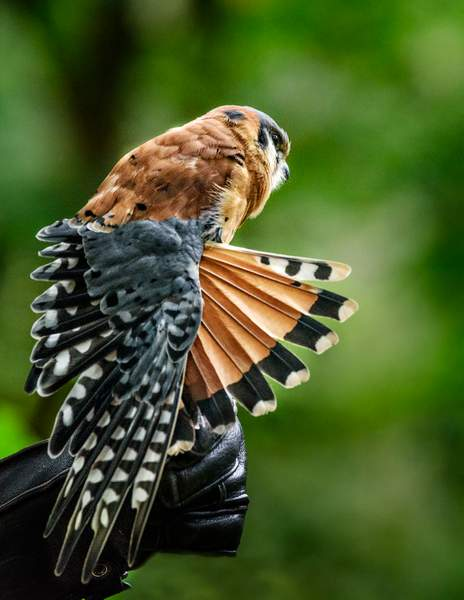 American Kestrel Spreads His Wings