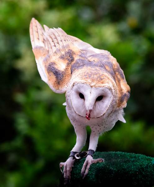 Barn Owl With Her Beak Full