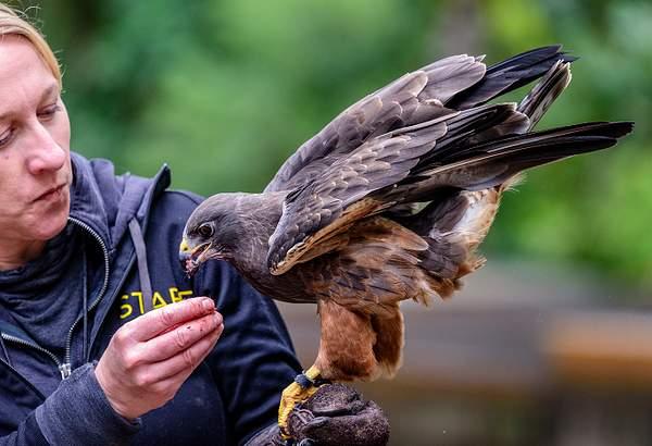 Feeding the Swainson's Hawk
