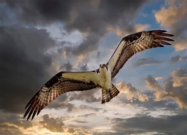 Flying Osprey 1