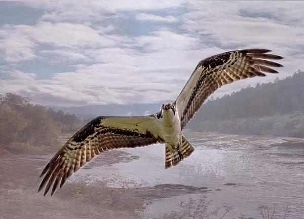 Flying Osprey 2