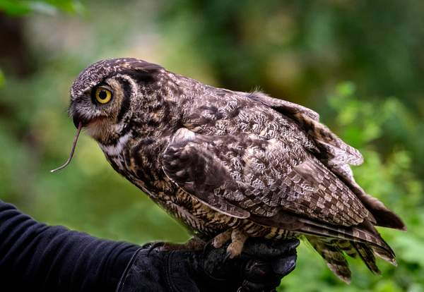 Great Horned Owl with Mouse Tail