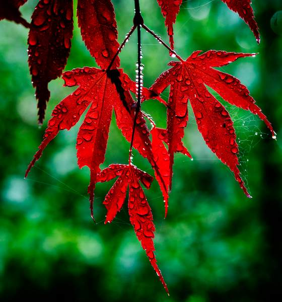 Maple Leaves, web, pearls and Bokeh