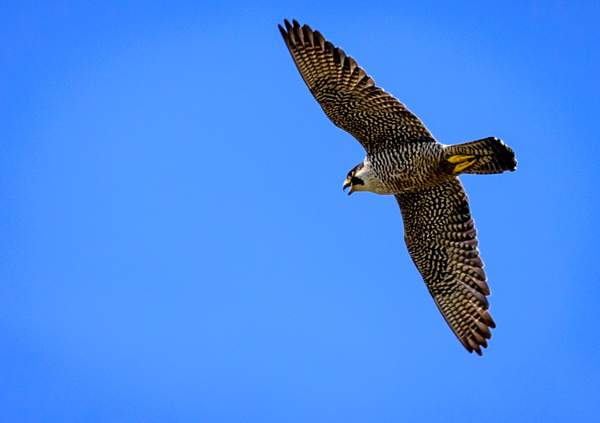 Peregrine Falcon Flying and Squacking