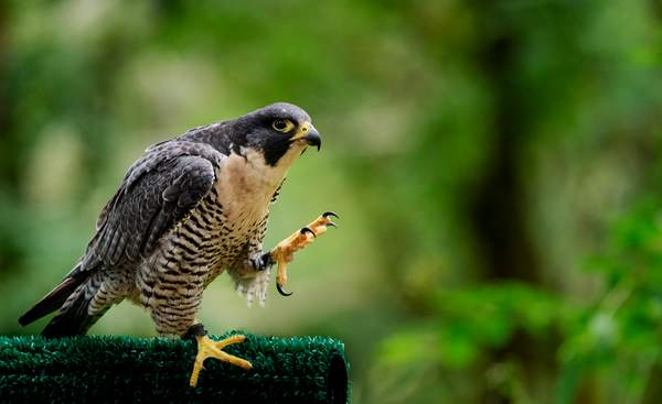 Peregrine Falcon Showing Off His Talons