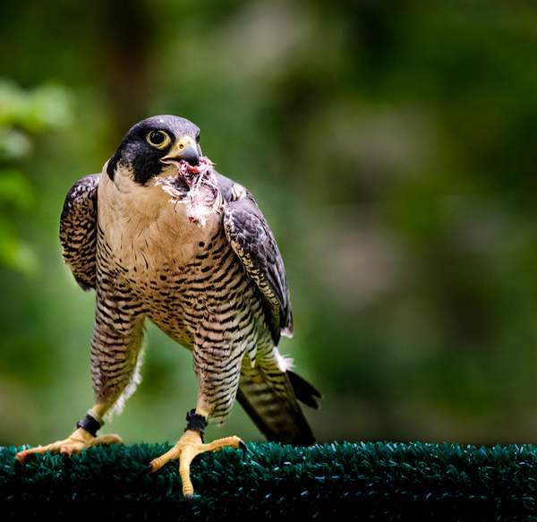 Peregrine Falcon with Dinner
