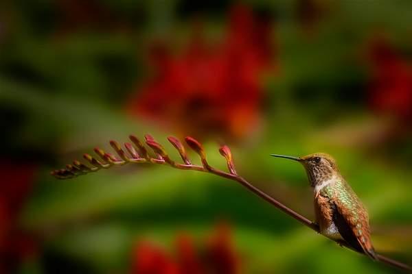 Hummer Sitting On a Lucifer Branch