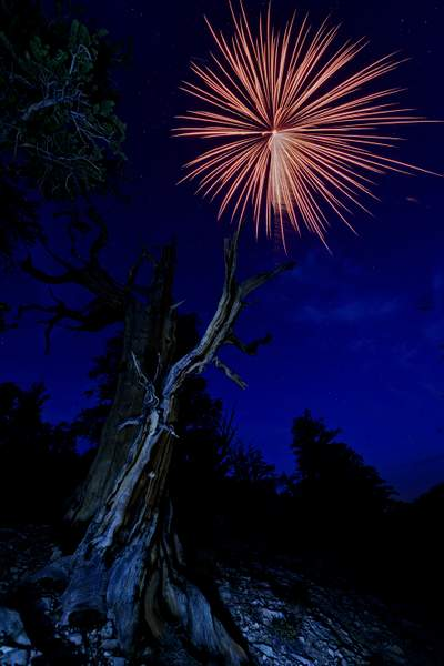 Bristlecone Pine for Fireworks
