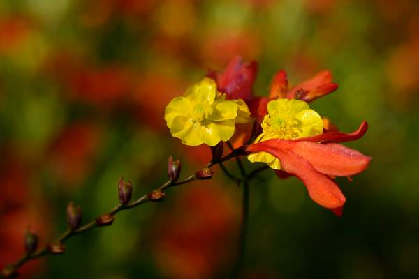 Lensbaby Crocosmia and Friends of 1)