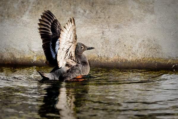 Pigeon Guillemot Landing