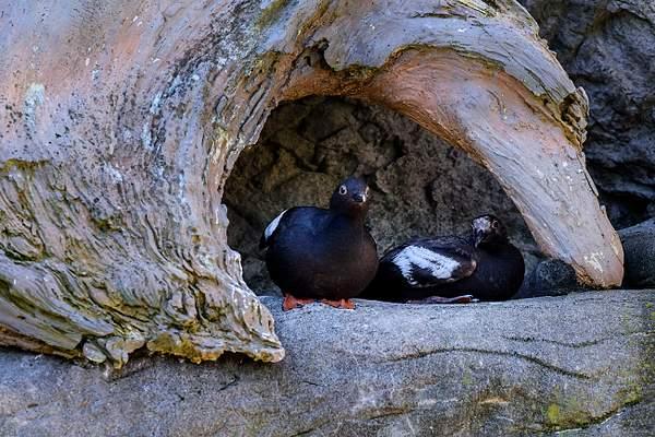 Pigeon Guillemot Pair In Nest