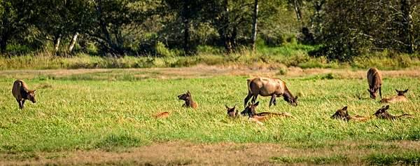 Elk Resting But Alert
