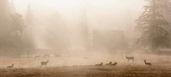 Goats and Horses In Morning Mist