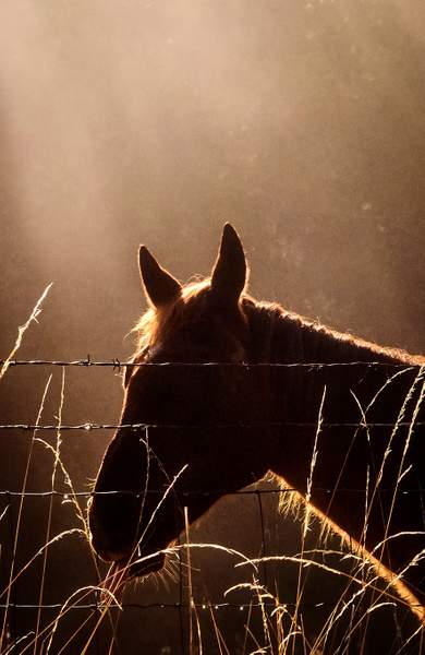 Horse in Sun Rayed Mist with Tongue Out Cropped (1 of 1)