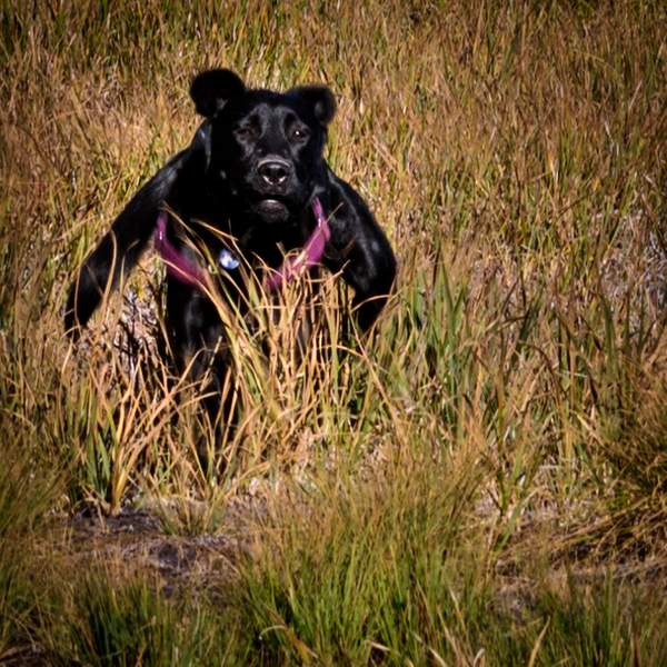Pearl Running Looking Like a Bear