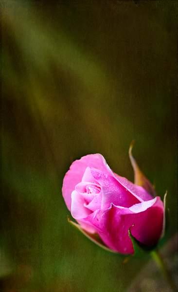 Rose Reaching Towards the Sun (1 of 1)