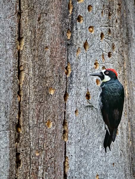 Acorn Woodpecker Storing for Winter