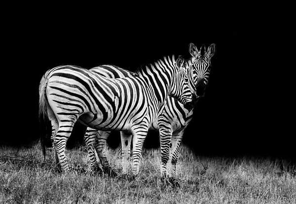 B and W Zebras