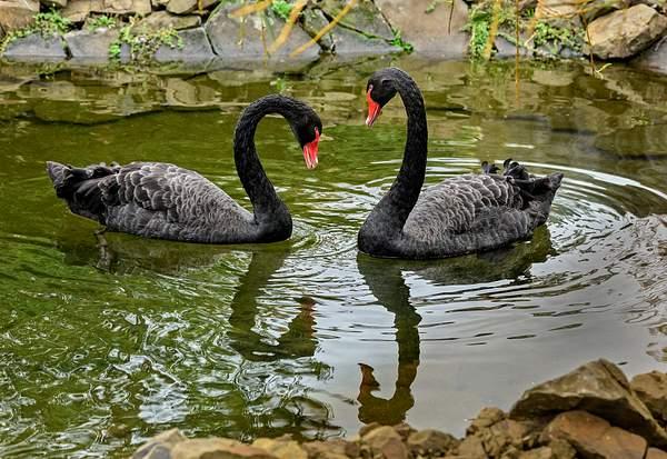 Black Swan Courtship
