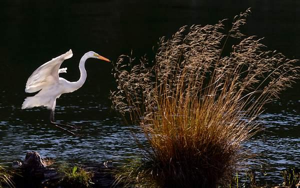 Egret Takes a Leap
