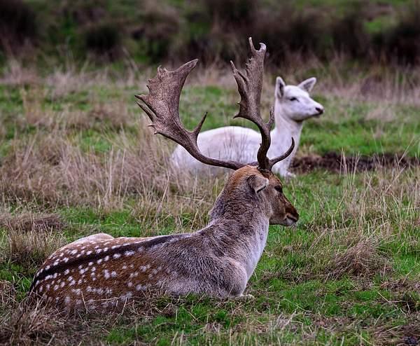 Fallow Deer with Rack