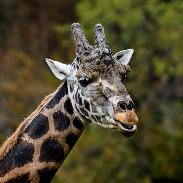 Giraffe Having Something to Say