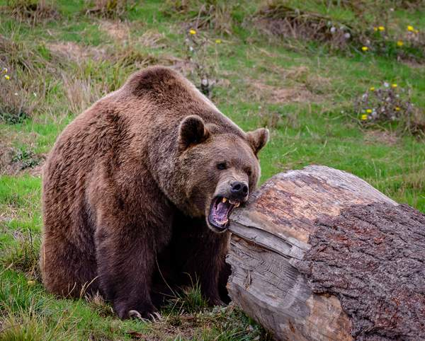 Grizzly Sharpening His Teeth(1 of 1)