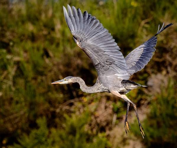 Heron Feet Hanging
