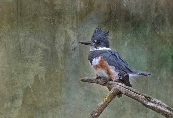 Kingfisher with PS Textures