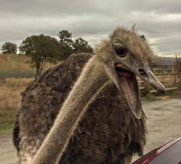 Ostrich Attacking My Car Mirror (1 of 1)