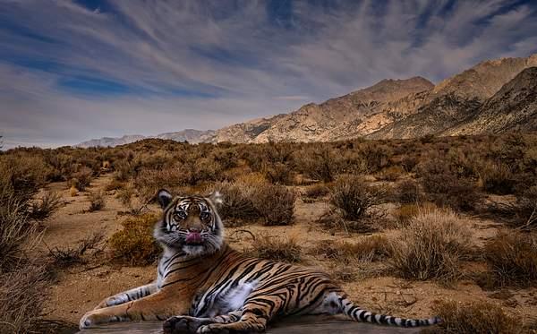 Tiger Composite 2