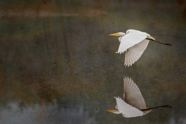 Reflected Flying White Egret textures