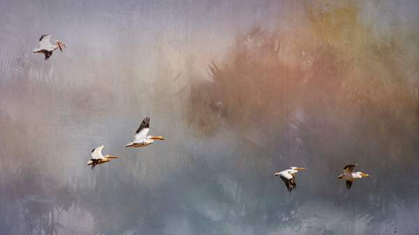 White Pelicans Flying with Textures