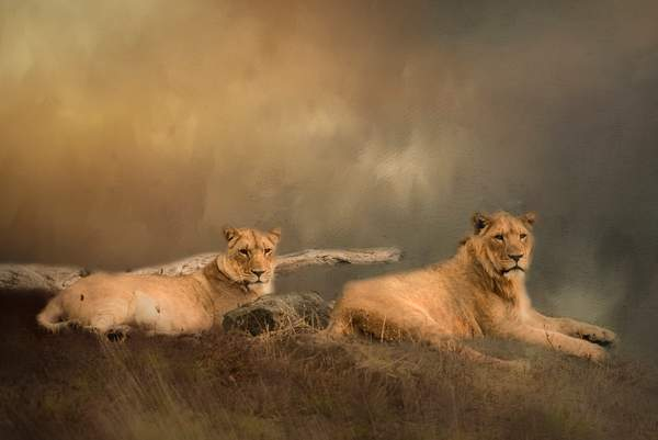 Lion Pair for Textures