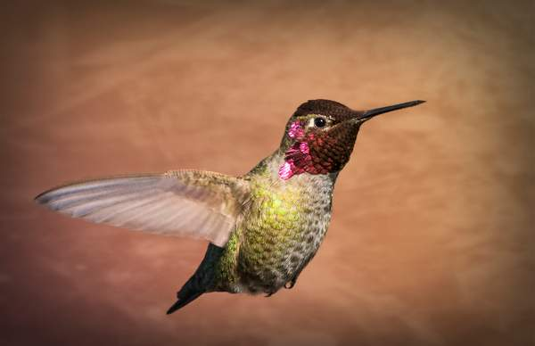 Male Annas Hummingbird 2